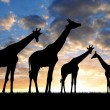 Herd of giraffes — Stock Photo #18635817