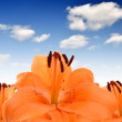 Orange lily — Stock Photo #18635971