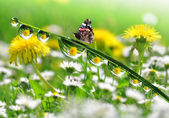 Dew drops and butterfly — Stok fotoğraf