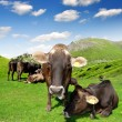 Cow in meadow — Stock Photo #18931317