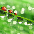 Dew and ladybird — Photo