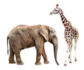 Zürafa fil ile — Stok fotoğraf