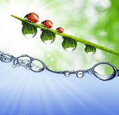 Dew drops and ladybugs — Stock Photo