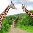 Giraffes — Stock Photo #20030841