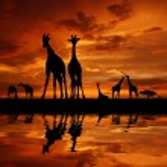Herd of giraffes — Stock Photo #20030915