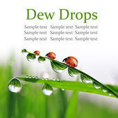 Dew and ladybugs — Stock Photo