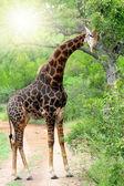 Zürafa — Stok fotoğraf