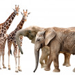 Giraffes with elephants — Stock Photo