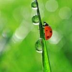 ������, ������: Dew and ladybug