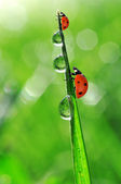 Dew and ladybug — Foto Stock