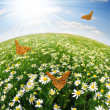 Field of daisies — Stockfoto