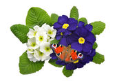 Primrose with butterfly — Stock Photo