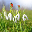 Closeup snowdrops — Stock Photo