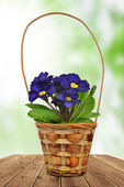 Primrose in pot — Stock Photo