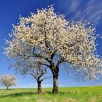 Cherry tree — Stock Photo #24485793