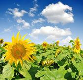 Sunflower field — Photo