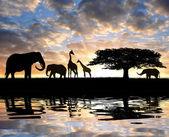 Silhouette elephants with giraffes — Stock Photo