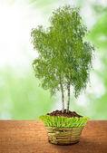 Huş ağacı büyüyen — Stok fotoğraf
