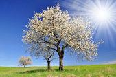 вишня — Стоковое фото