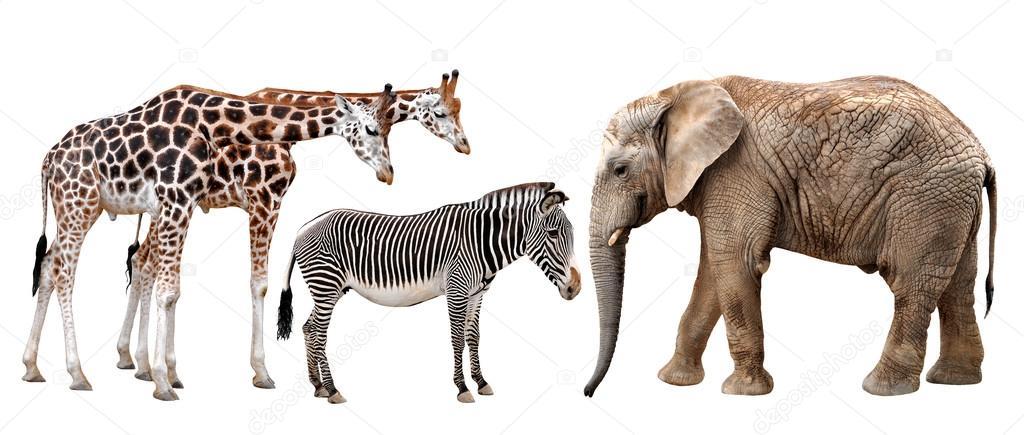 长颈鹿, 大象和斑马