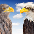 Bald Eagle with Sea Eagle - Stock Photo
