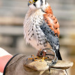 Little American Kestrel — Stock Photo #26001879