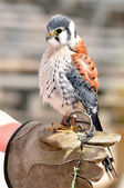 Little American Kestrel — Stock Photo