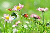 露水和瓢虫 — 图库照片