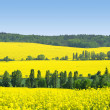 Rapeseed field — Stock Photo #26732881