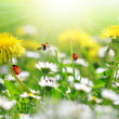 Dandelions and daisy  — Stock Photo