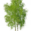 Birch tree — Stock Photo #26963317