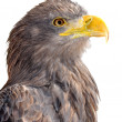 Sea eagle — Stock Photo #26963705