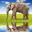 Stock Photo: african elephant
