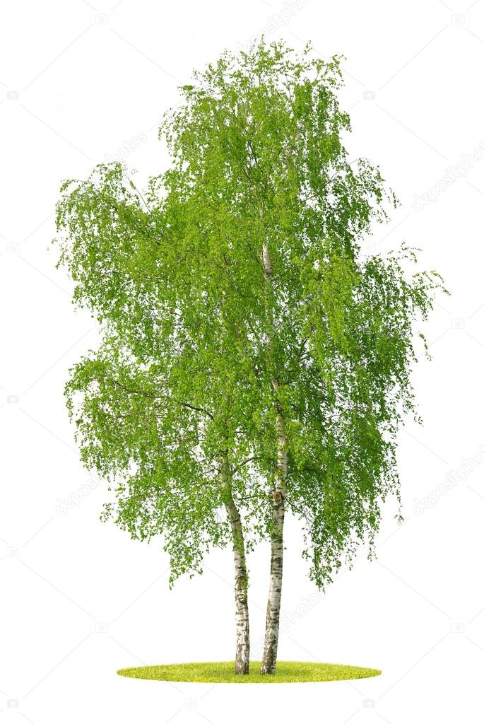 Stock Photo - Birch tree.