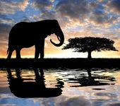 Silhouette elephant — Stock Photo