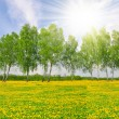 Birch tree on dandelions field — Stock Photo