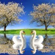 Two swans in spring landscape — Stock Photo