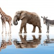Giraffes, elephant and zebras isolated on white — Stock Photo