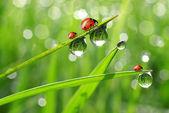 Fresh morning dew and ladybird — Stock Photo