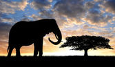 Silhouette of elephant in the sunset — Stock Photo