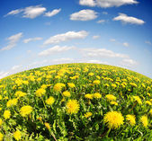 Dandelions in the meadow — Stock Photo