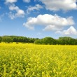 Rapeseed field — Stock Photo #28583803