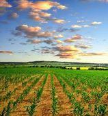 Campo de milho — Fotografia Stock