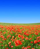 красный маковое поле — Стоковое фото
