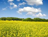 Rzepakowego pola — Zdjęcie stockowe