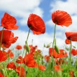Stock Photo: Red poppy