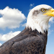 Bald Eagle — Stock Photo #28939539