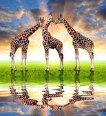 Troupeau de girafes — Photo