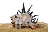 海贝壳沙 — 图库照片
