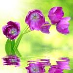 Fresh purple tulips — Stock Photo #29276751